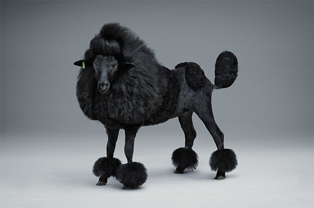 Black Sheep Poodle
