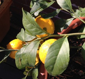 lemon-tree-for-nl