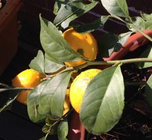 lemon-tree-for-nl