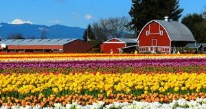 Skagit-Valley-Tulip-Festival